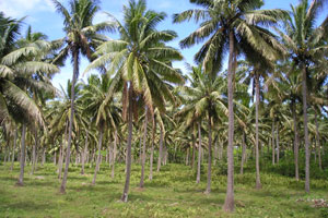 Coconut Plantations of  Southern Taveuni
